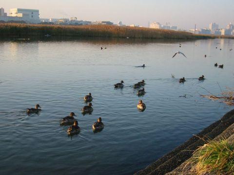 多摩川、冬の水鳥たち