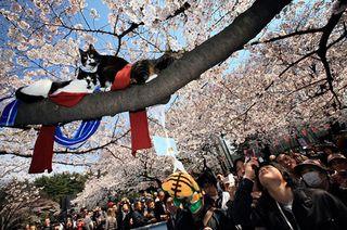 上野公園では、ネコも優雅にお花見してたらしい