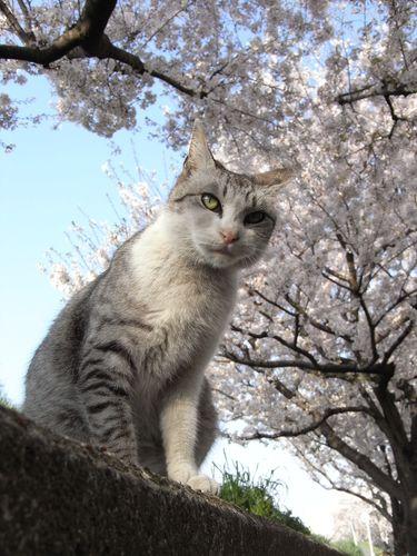 アンちゃんと桜
