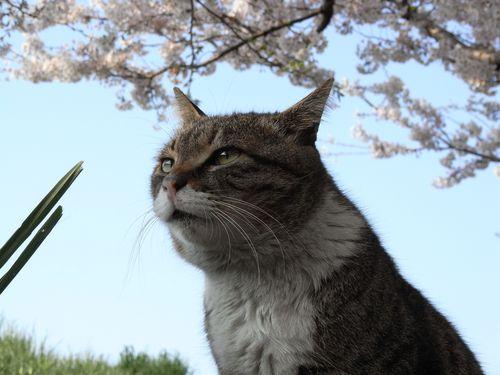 きじよしさんと桜