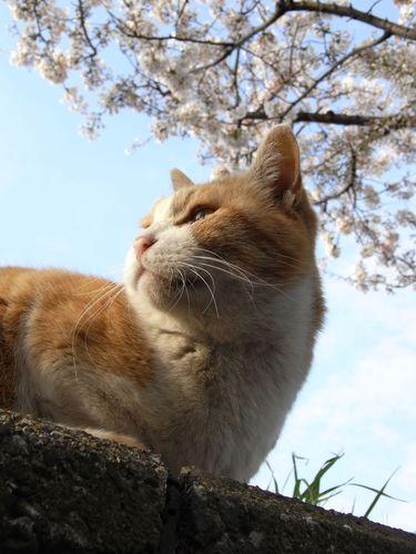 チャトランと桜