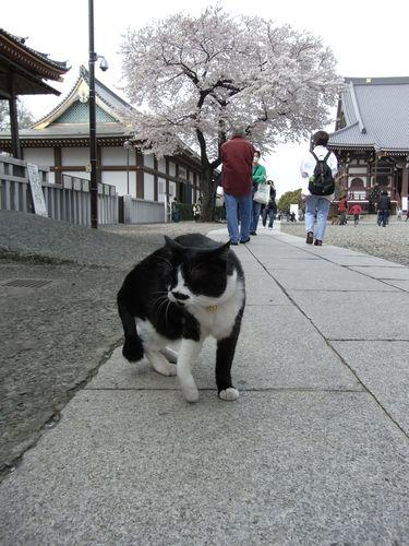 池上本門寺の白黒猫さんと桜