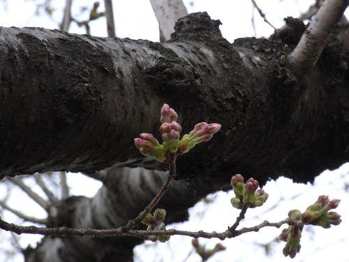 桜花、萌ゆ。
