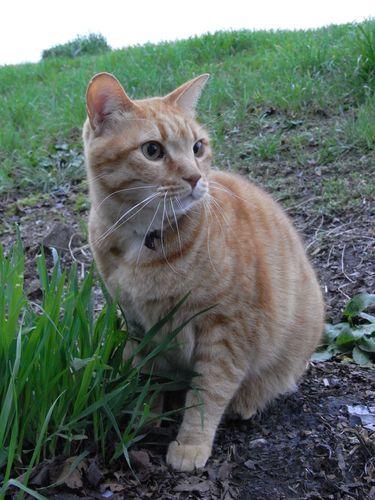 でっかい茶トラさん - 近所の飼い猫さんらしい