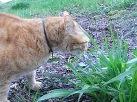 でっかい茶トラさん - 土手の草をはむはむ
