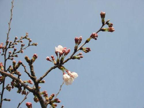 桜、花開く