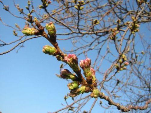 桜の蕾、ほころぶ