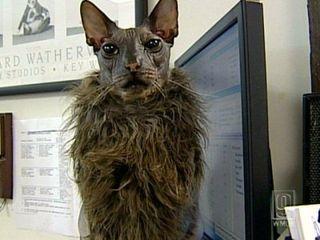 なんだか すごい ゴージャスな猫